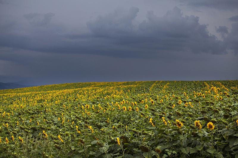 田地,向日葵,天空,美,水平画幅,云,无人,夏天,户外,明亮