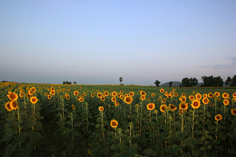 向日葵,田地,自然美,早晨,自然,黄色,泰国,图像,花朵,美