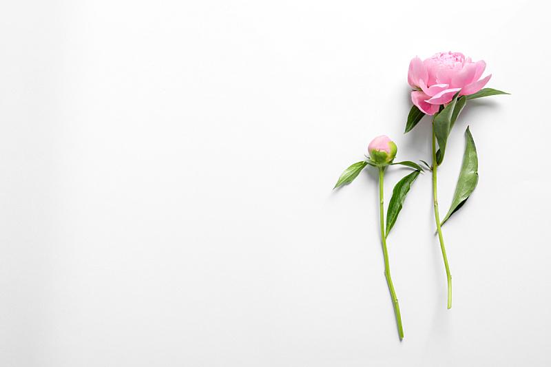 芳香的,牡丹,自然美,白色背景,无人,乌克兰,图像,水平画幅,美,花