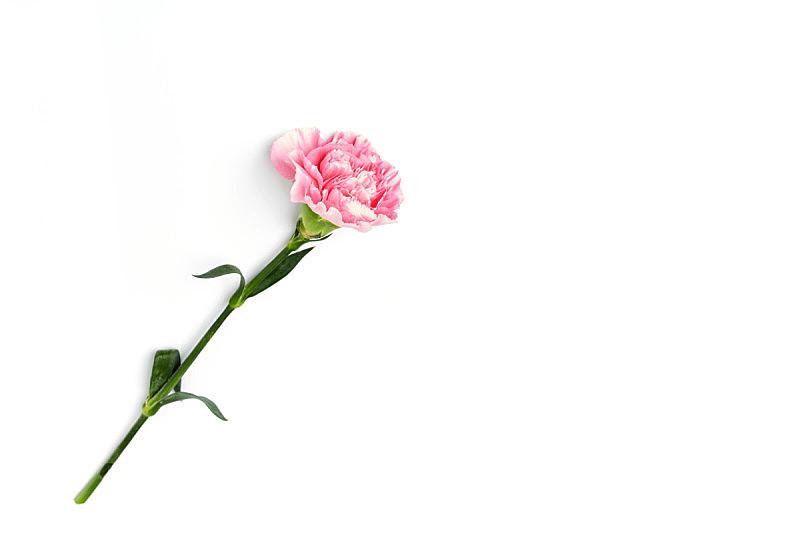 白色,粉色,康乃馨,分离着色,自然,美,水平画幅,抽象,白色背景,大丽花属