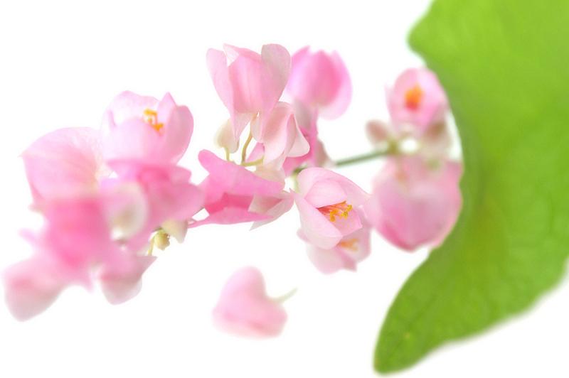 攀缘植物,蓝花藤,卷须,有蔓植物,水平画幅,绿色,无人,蓼科,泰国,中间部分