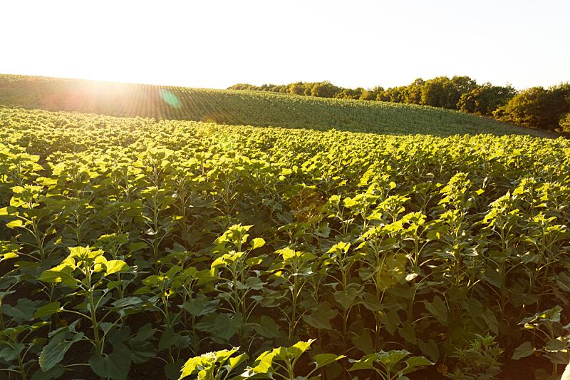 田地,向日葵,幼小动物,水平画幅,山,夏天,户外,农作物,植物,光