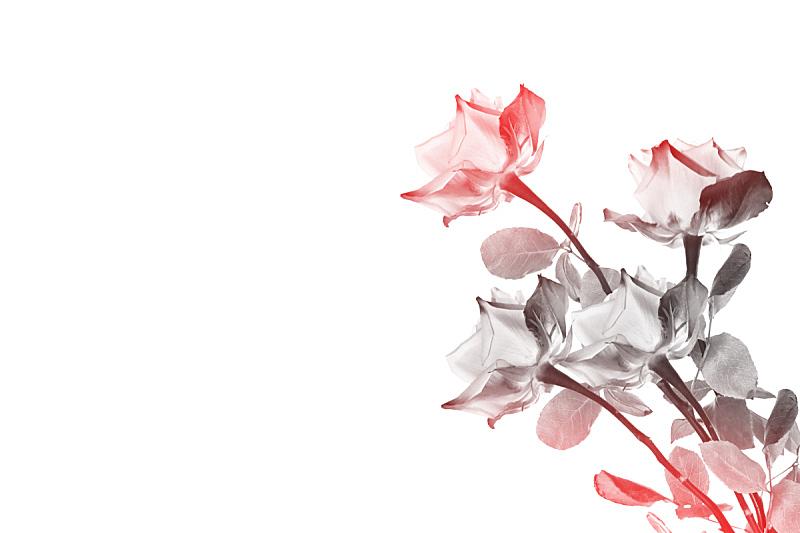 玫瑰,花蕾,清新,背景分离,边框,情人节卡,壁纸,春天,植物,康乃馨