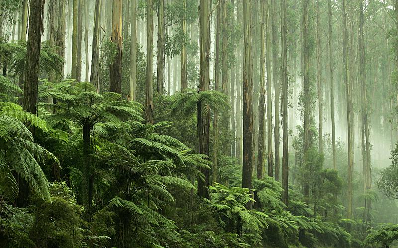 椤,维多利亚,动机,黑色,丹德农,丹登农斯,亚拉谷,澳大利亚文明,热带雨林,蕨类