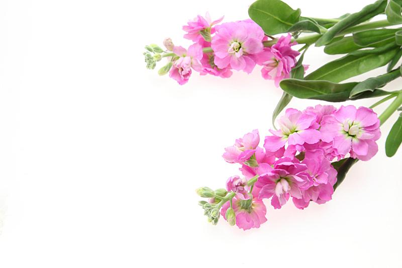白色背景,自然,背景分离,粉色,室内,图像,色彩鲜艳,花头,无人,水平画幅