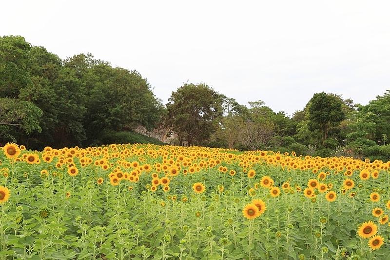 田地,向日葵,天空,水平画幅,形状,无人,几何形状,户外,特兰西瓦尼亚,农作物