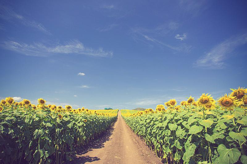 蓝色,油菜花,黄色,花坛,田地,天空,乡村路,水平画幅,山,无人