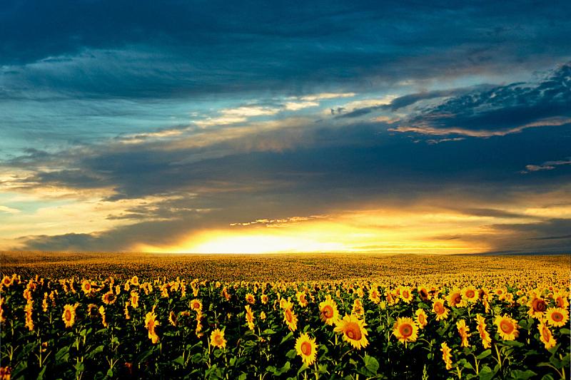 田地,向日葵,天空,水平画幅,无人,夏天,户外,明亮,农作物,植物