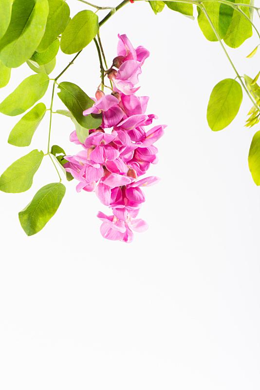 仅一朵花,粉色,叶子,绿色,请柬,美术工艺,浪漫,色彩鲜艳,自然美,春天