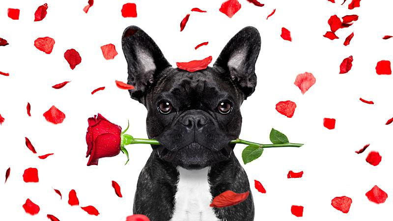 情人节卡,狗,美,风,水平画幅,玫瑰,斗牛犬,友谊,蜜月,法国斗牛犬