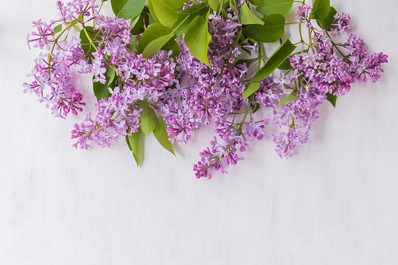 丁香花,枝,背景,轻的,美,留白,边框,水平画幅,纹理效果,五月