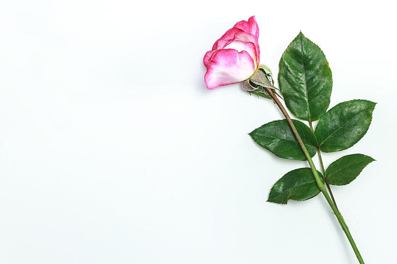 玫瑰,粉色,留白,粉色背景,自然美,周年纪念,贺卡,清新,一个物体,背景分离