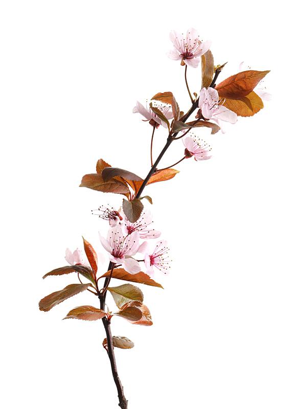 花朵,枝,白色背景,自然美,无人,芳香的,垂直画幅,乌克兰,图像,美