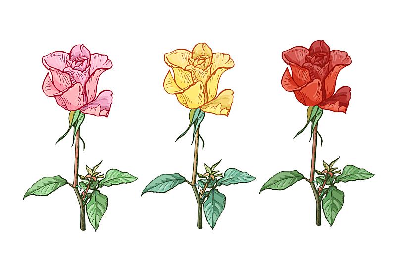 绘画插图,矢量,玫瑰,反差,茎,三个物体,美,艺术,水平画幅,夏天
