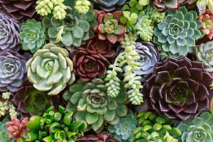 小的,多肉植物,美,水平画幅,纹理效果,枝繁叶茂,能源,园艺,景天属植物,石头