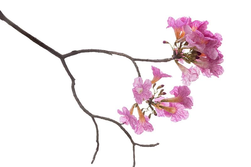 白色背景,粉色,枝,分离着色,清新,背景分离,野生动物,泰国,植物,背景