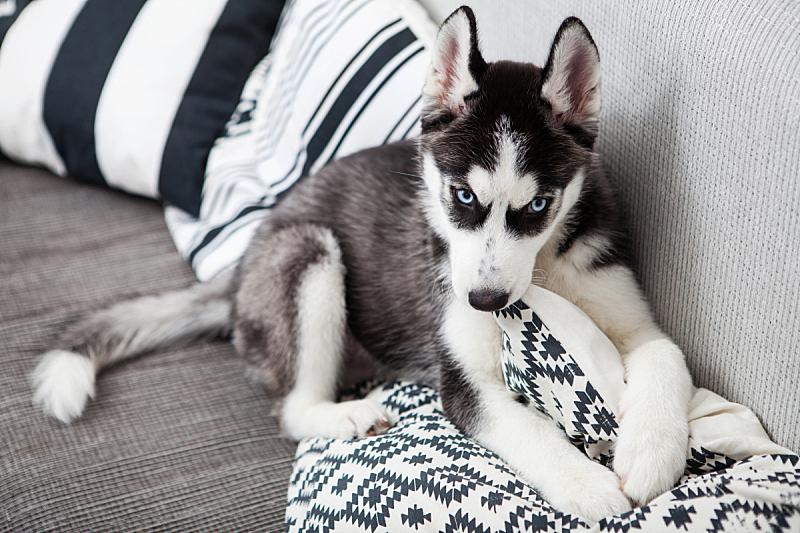 西伯利亚哈士奇犬,小狗,russell,雪橇犬,动物耳朵,美,水平画幅,进行中,智慧,动物身体部位
