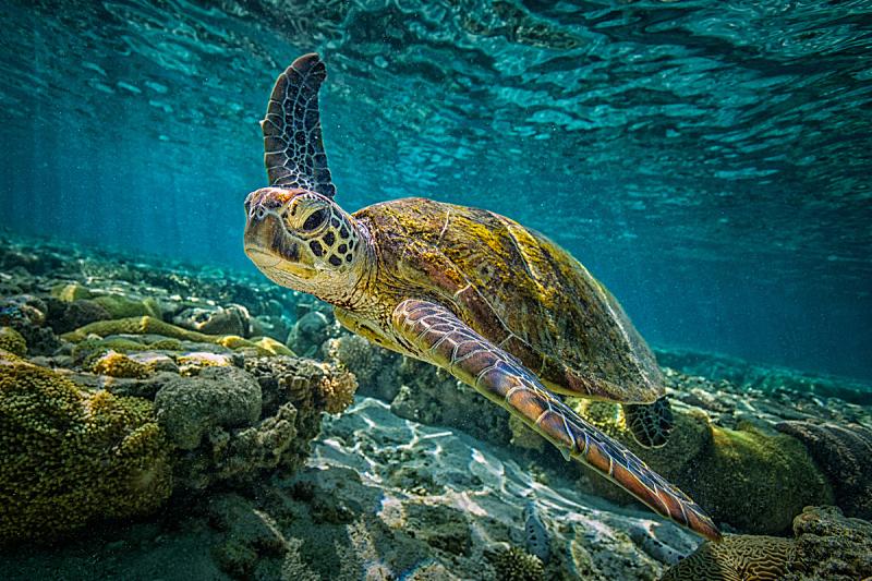 绿蠵龟,美,水平画幅,水肺潜水,水下,动物主题,礁石,热带气候,浮潜,环境
