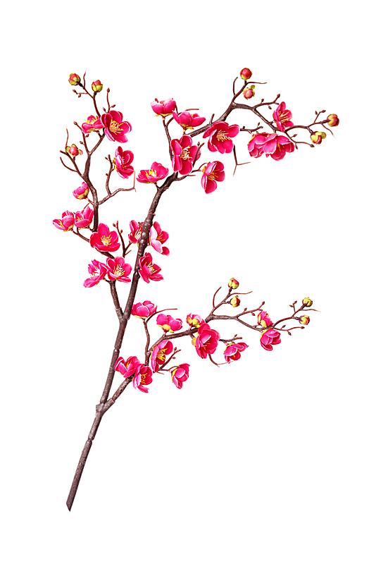 樱桃,花朵,枝,清新,背景分离,春天,3到4个月,植物,日本,樱花