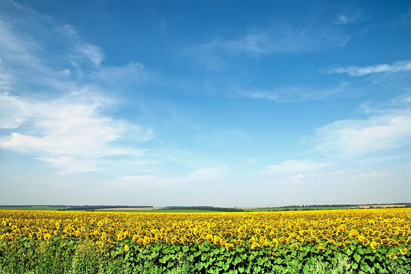 天空,田地,蓝色,向日葵,在上面,水平画幅,无人,户外,特写,植物