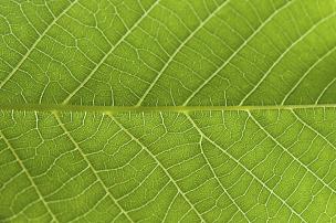叶子,绿色,背景,纹理,特写,抽象,光合作用,静脉,森林开伐,分形