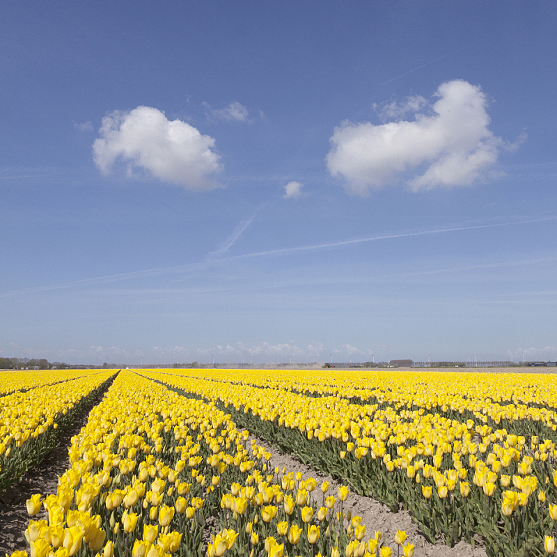 郁金香,蓝色,黄色,田地,地形,天空,床,自然,无人,夏天