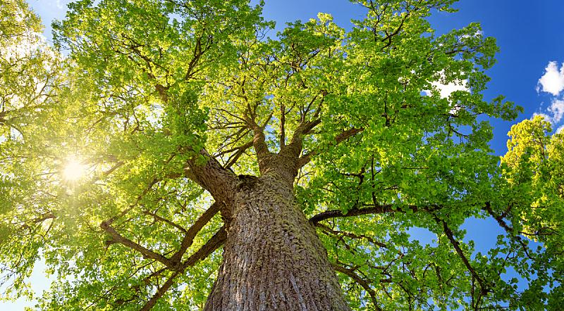 灌木,光,早晨,欧锻树,高大的,植物茎,自然公园,庭院,宽的,树林