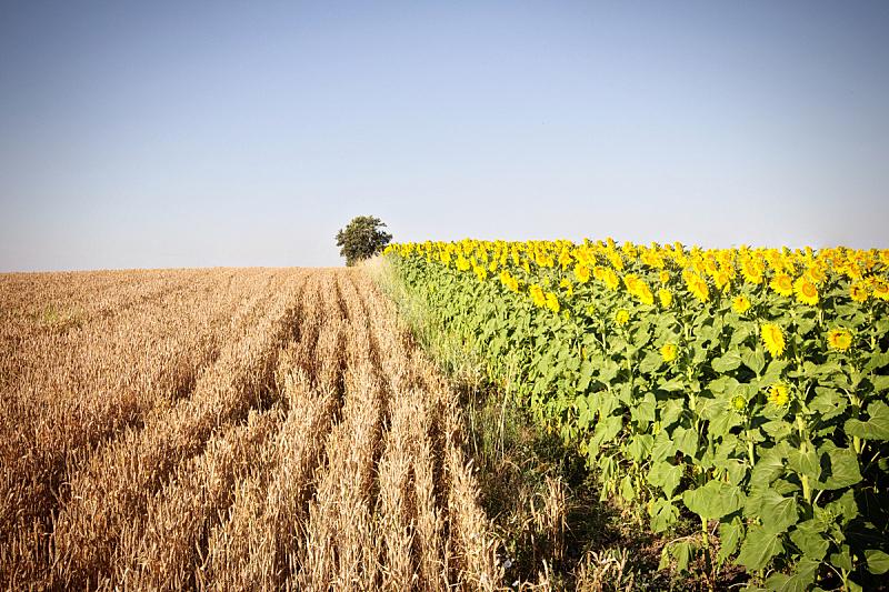向日葵,小麦,天空,美,水平画幅,无人,夏天,户外,干的,农作物