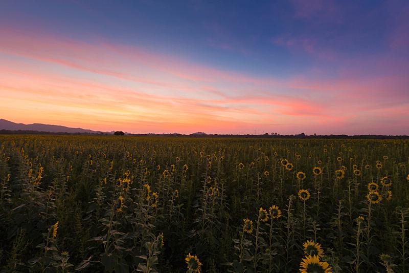 田地,向日葵,自然美,在上面,自然,草地,天堂,水平画幅,地形,无人