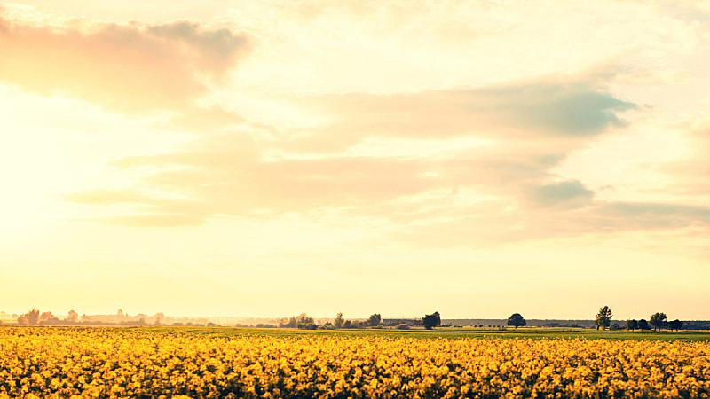 芸苔,夏天,田地,天空,水平画幅,无人,户外,云景,仅一朵花,明亮