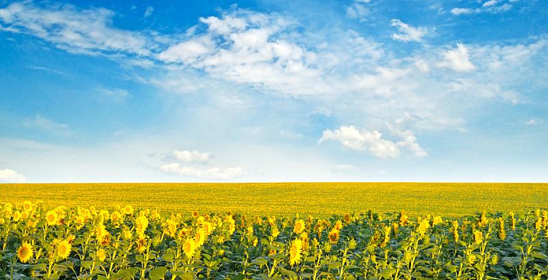 向日葵,田地,云,向日葵籽,天空,夏天,明亮,光,花科植物,草地