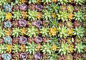 小的,多肉植物,石莲花,石蟹,长生花,景天属植物,水平画幅,无人,园艺,户外