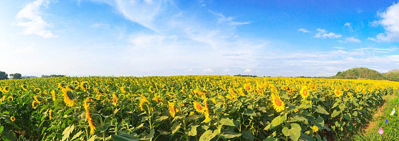 田地,全景,向日葵,天空,美,水平画幅,无人,夏天,户外,泰国
