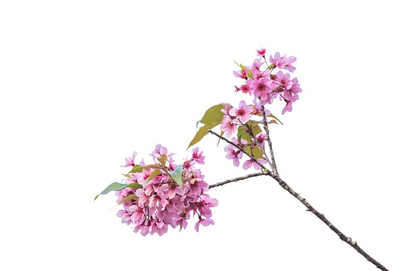 樱花,非都市风光,户外,白昼,季节,明亮,白色,粉色,柔和,美