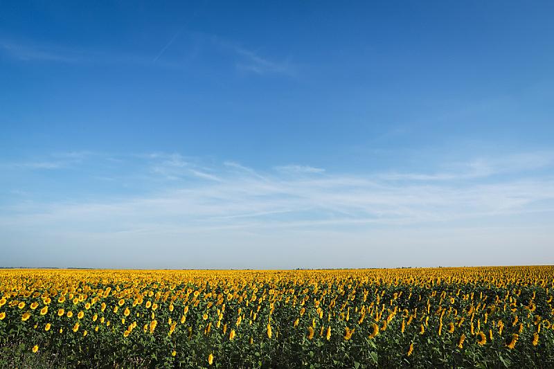 向日葵,野花,农业,清新,草,背景,欢乐,草地,黄色,白昼
