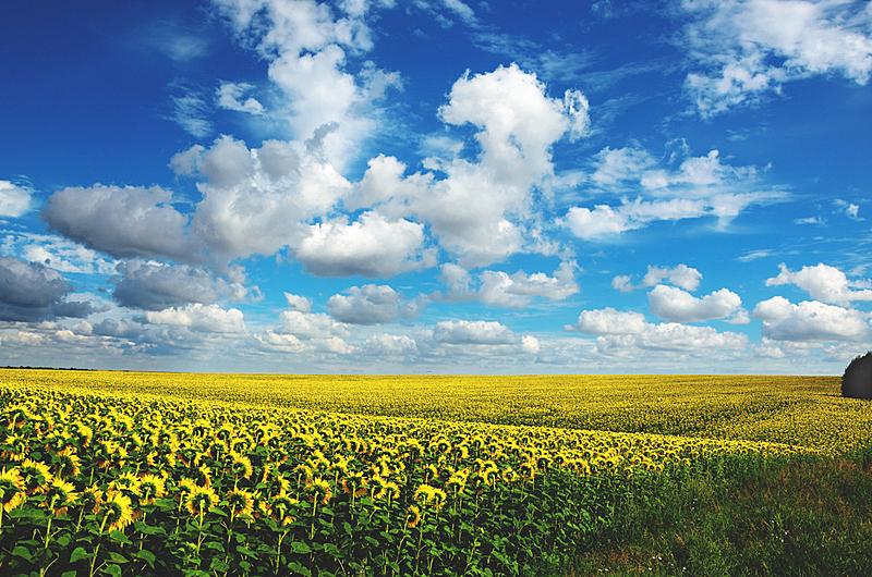 夏天,田地,农业,地形,向日葵,天空,美,水平画幅,云,户外