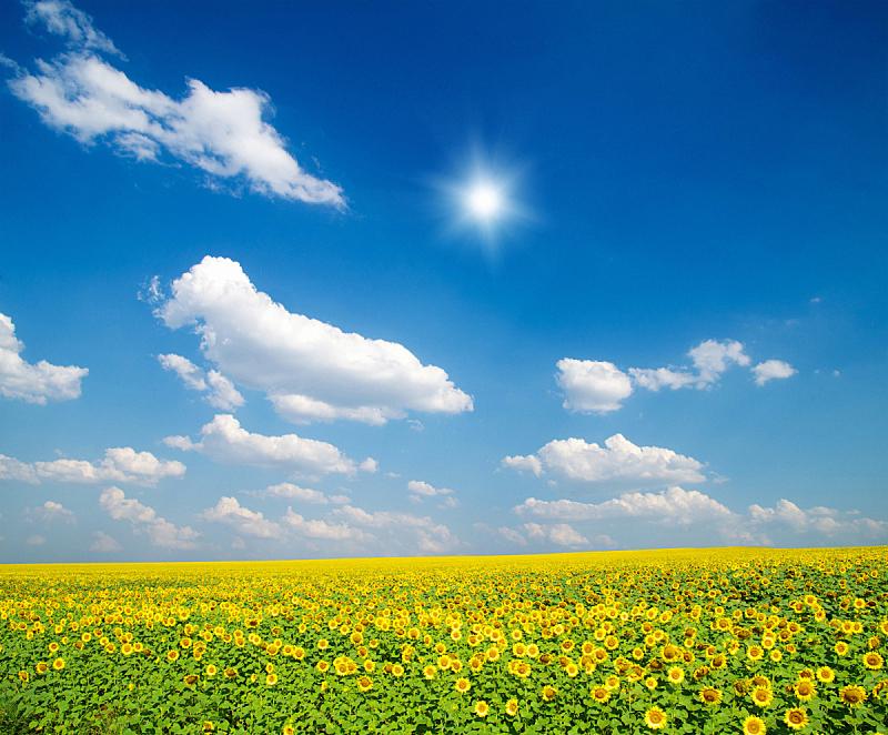田地,向日葵,自然,天空,水平画幅,地形,无人,蓝色,有机食品,乌克兰