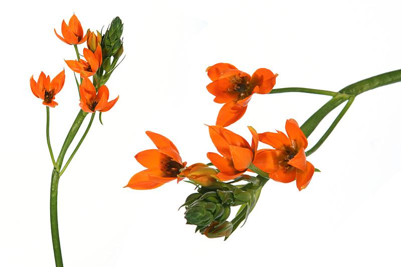 仅一朵花,分离着色,大特写,自然,水平画幅,无人,优美,浪漫,华丽的,白色