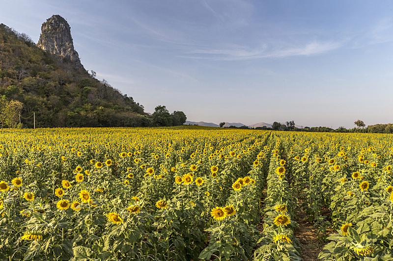 向日葵,天空,美,水平画幅,夏天,户外,明亮,农作物,田地,生长