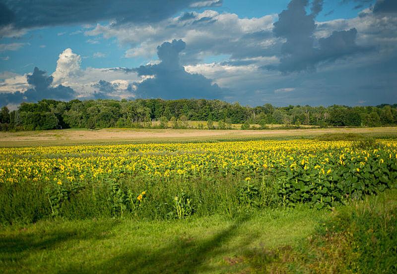 田地,向日葵,云,天空,在下面,美,水平画幅,无人,夏天,户外