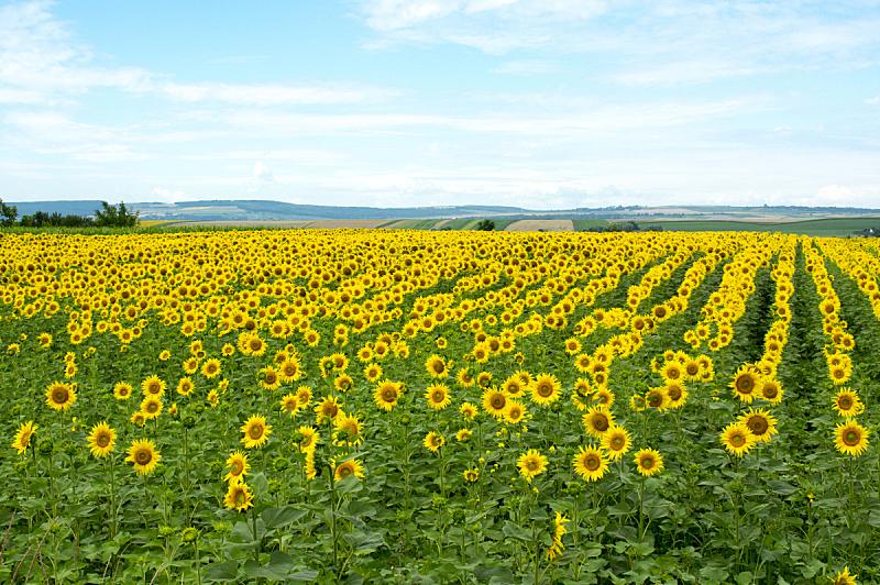 向日葵,田地,sunflower pollen,葵花油,向日葵籽,罗马尼亚,仅一朵花,花粉,天空,美