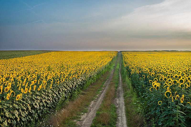田地,向日葵,天空,水平画幅,无人,早晨,夏天,户外,开花时间间隔,农作物