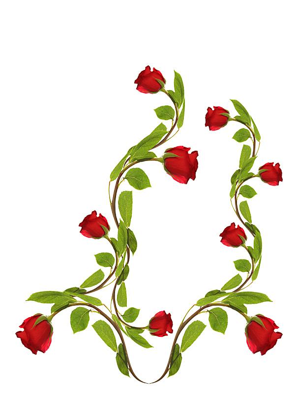 玫瑰,白色,背景,垂直画幅,边框,枝繁叶茂,夏天,组物体,特写,花束