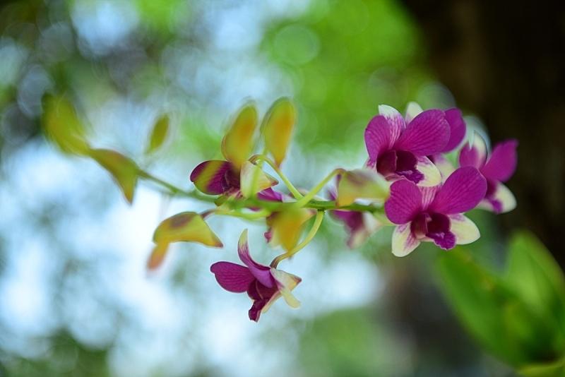 兰花,紫色,美,水平画幅,新加坡,无人,户外,特写,仅一朵花,热带气候