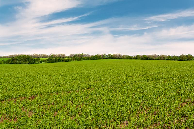 豌豆,田地,天空,枝繁叶茂,草坪,夏天,草,明亮,农作物,豆荚