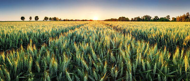小麦,田地,全景,大麦,土路,天空,水平画幅,夏天,户外,草