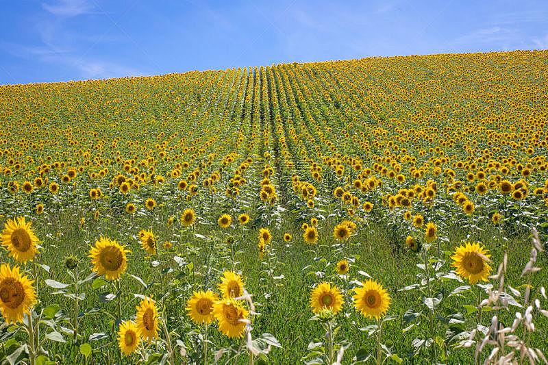 向日葵,地平线,田地,生物学,农业,环境,枝繁叶茂,植物,落叶树,户外