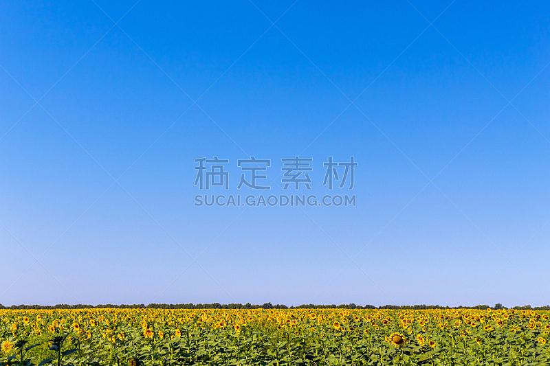 天空,田地,蓝色,向日葵,美,水平画幅,无人,夏天,户外,明亮