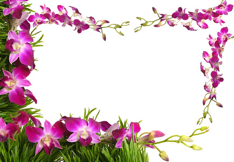 兰花,边框,粉色,美,贺卡,水平画幅,绿色,无人,色彩鲜艳,白色背景