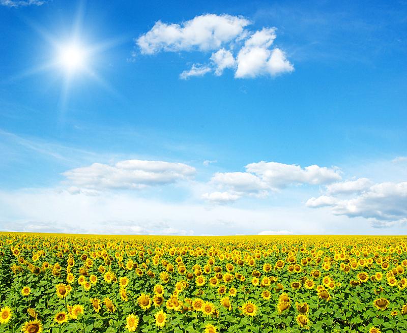 向日葵,自然,黄色,季节,自由,图像,草,无人,夏天,户外